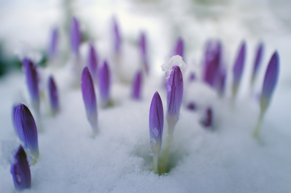 Picture of purple flowers rising up above the snow. Retrieved from https://pixabay.com/en/flower-nature-petal-plant-floral-3161201/