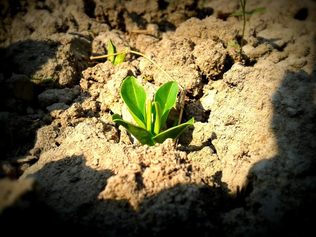 This is a picture of a sapling growing from the dirt. Retrieved from https://pixabay.com/en/plant-soil-sapling-seedling-growth-912796/